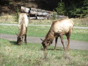 Fairmont Banff Springs wildlife sighting 2