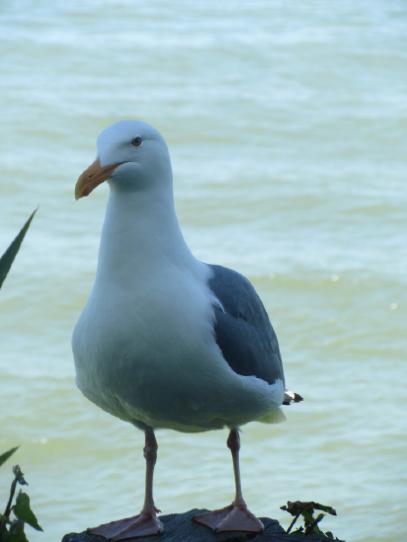San Francisco 2017 Alcatraz Island Seagull